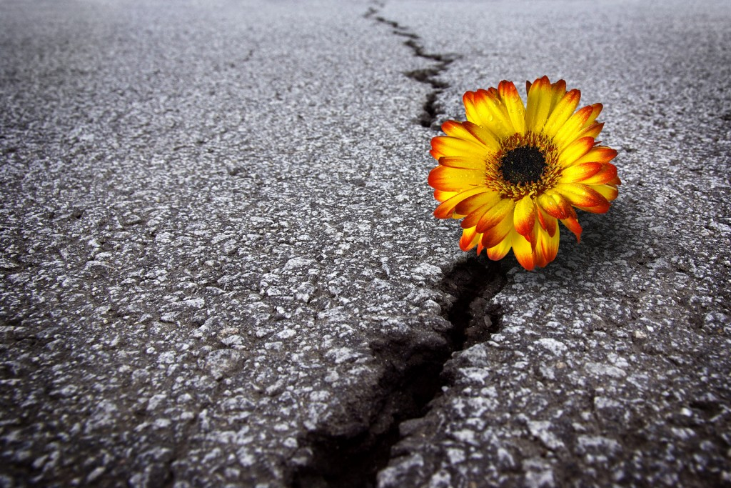 bigstock-Flower-In-Asphalt-6418224-1024x683